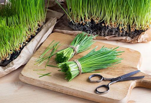 Cỏ lúa mì (wheatgrass)